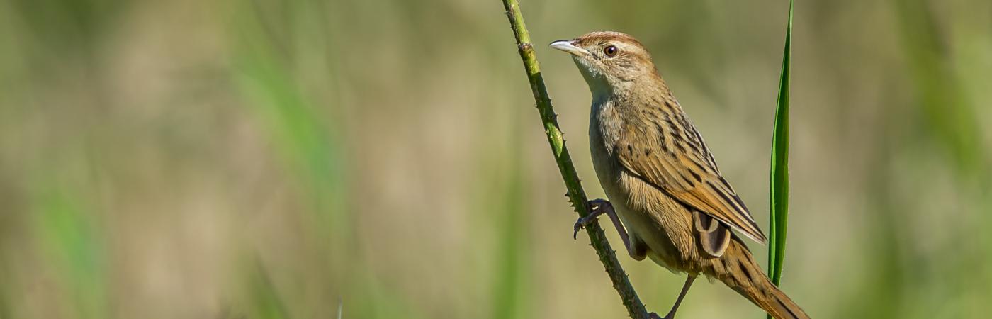 Tawny Grassbird (Image ID 21784)