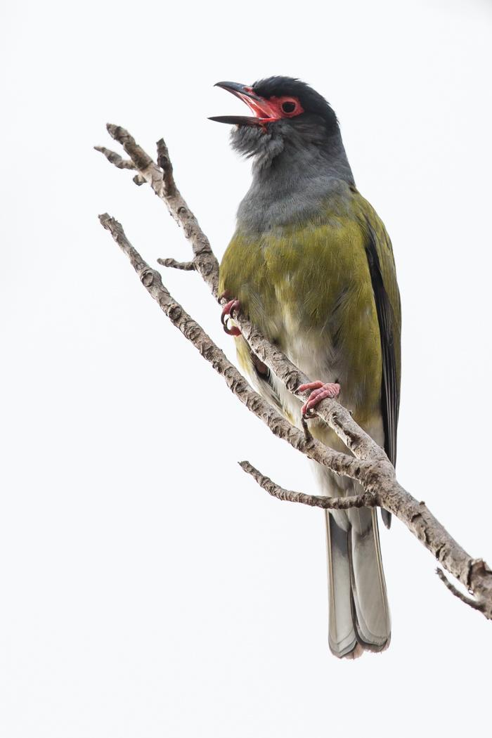 Australasian Figbird (Image ID 21378)