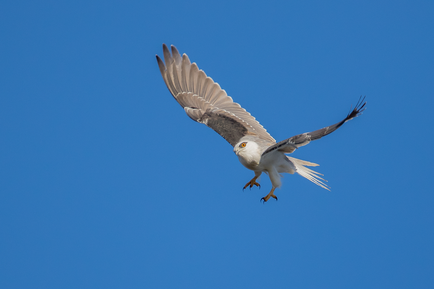 Black-shouldered Kite (Image ID 22028)