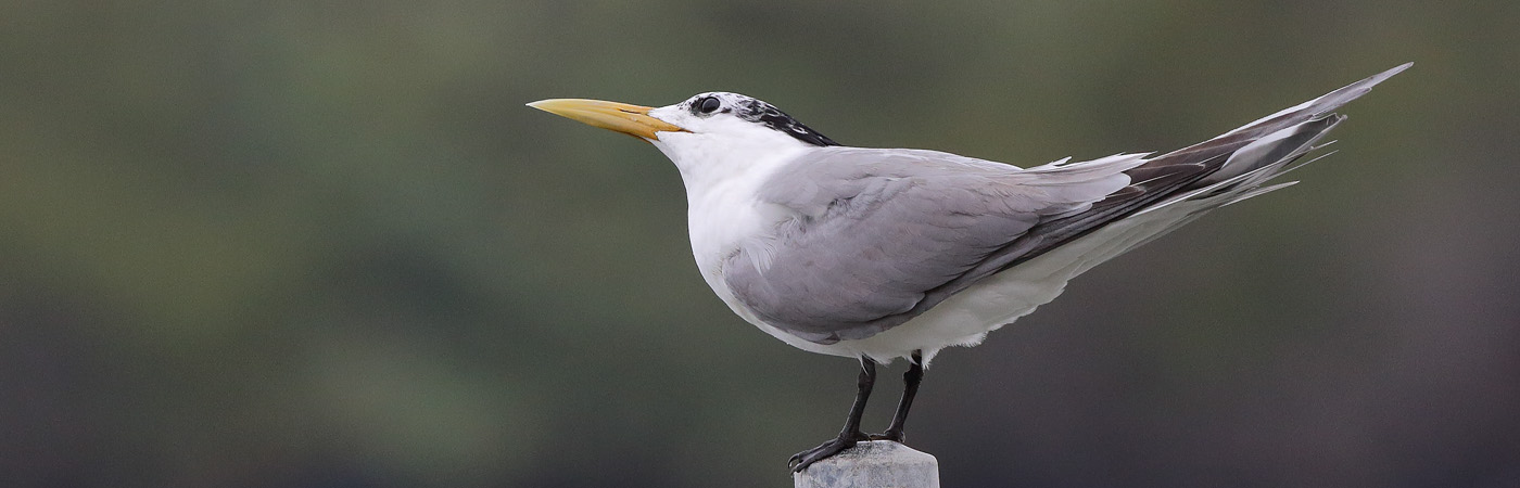 Crested Tern (Image ID 21848)