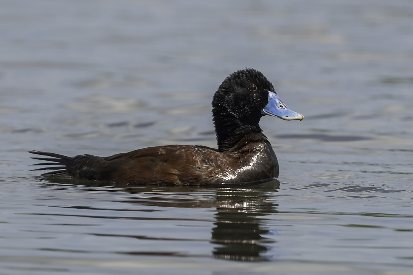 Blue-billed Duck (Image ID 22639)
