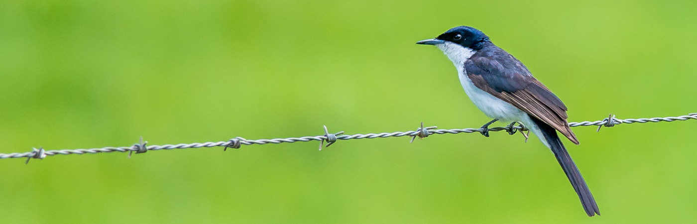 Restless Flycatcher (Image ID 22627)