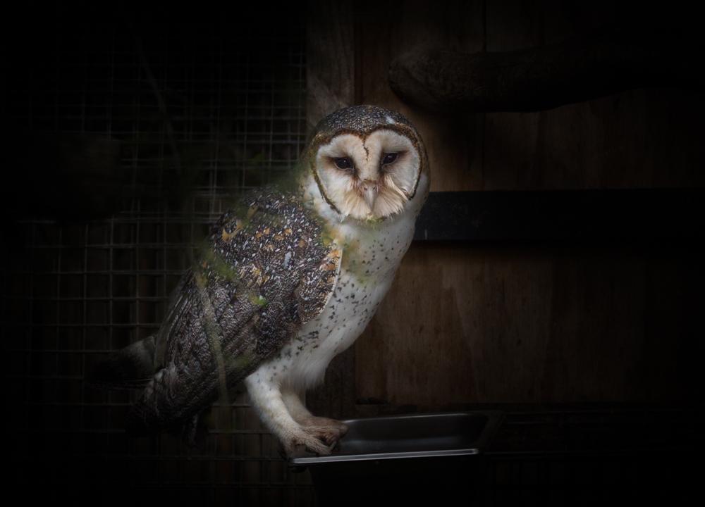 Barn Owl (Image ID 22638)