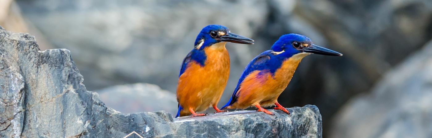 Azure Kingfisher