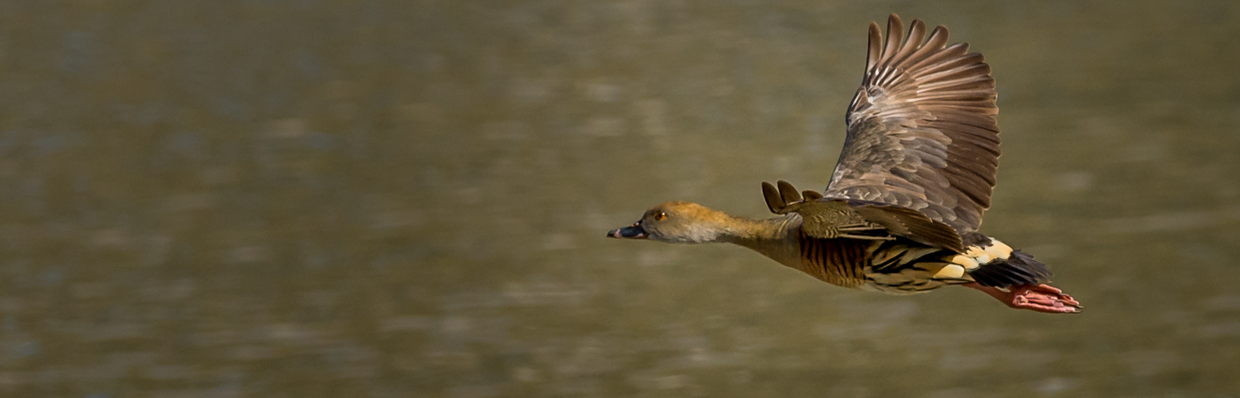 Plumed Whistling-Duck (Image ID 22521)