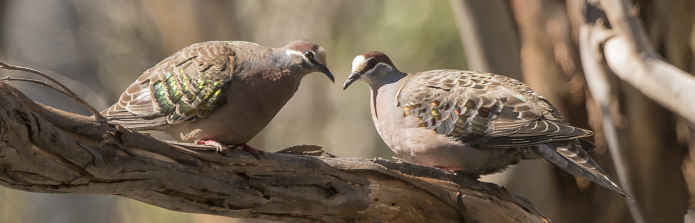 Common Bronzewing (Image ID 22873)