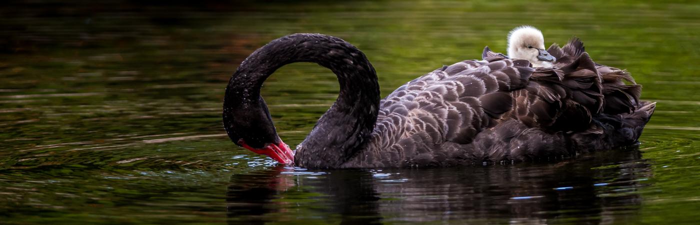 Black Swan (Image ID 22770)