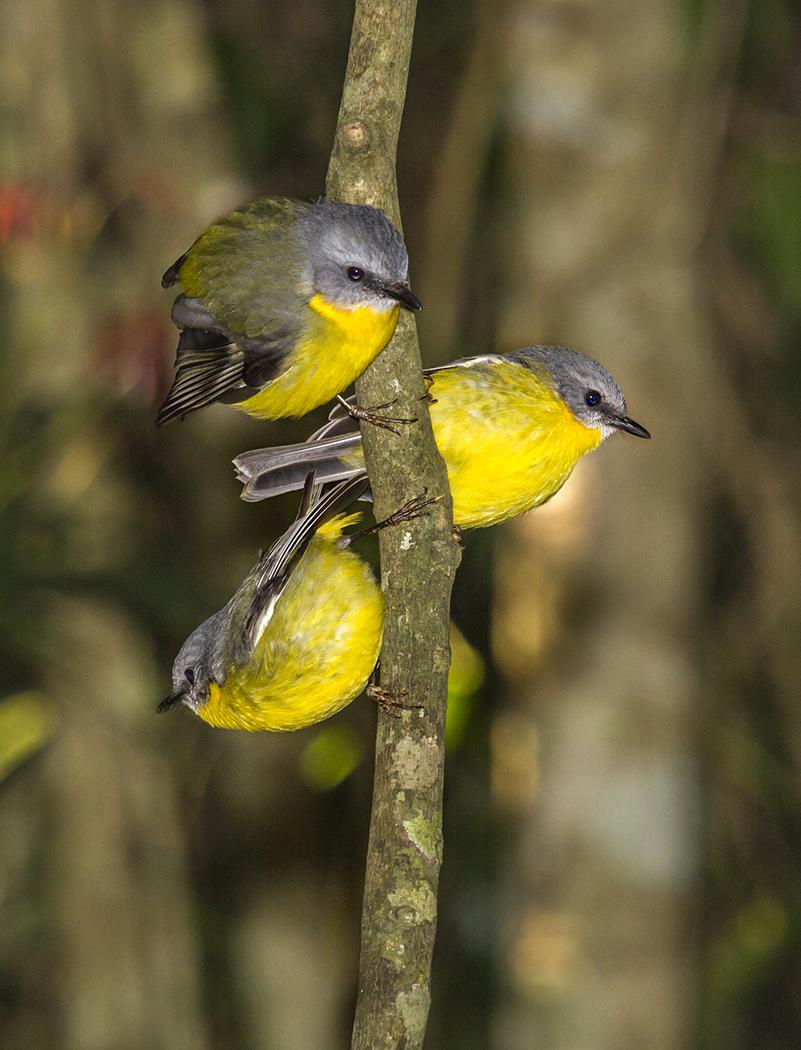 Eastern Yellow Robin (Image ID 23436)