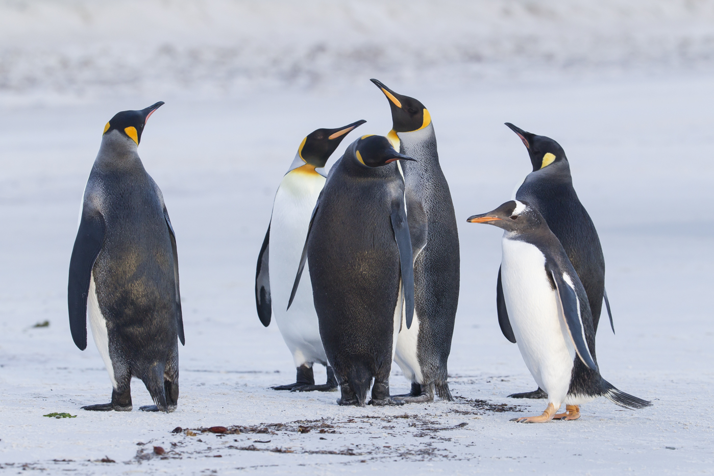 King Penguin (Image ID 23381)