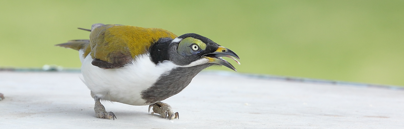 Blue-faced Honeyeater (Image ID 23442)