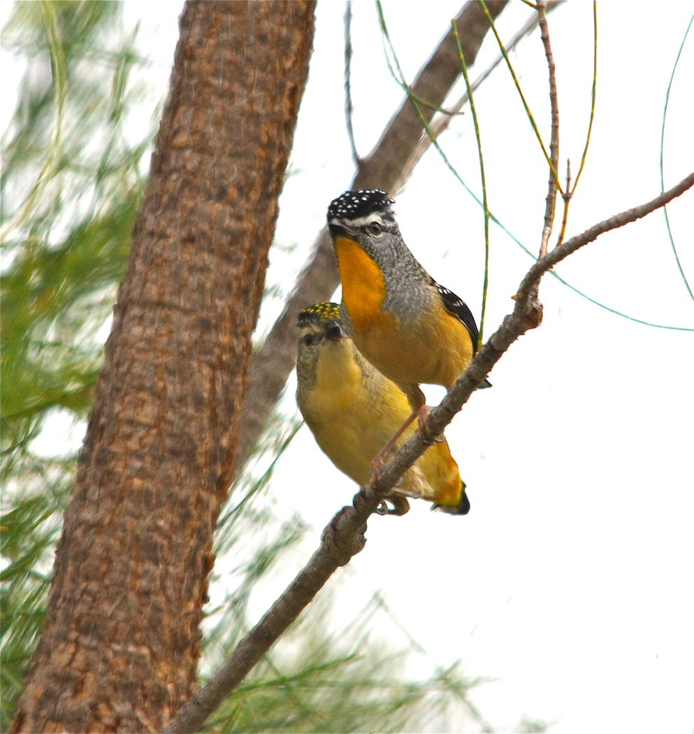 Spotted Pardalote (Image ID 23466)