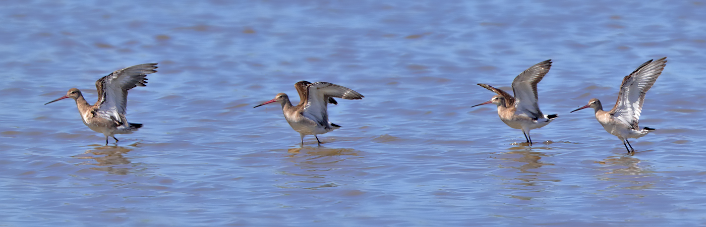 Black-tailed Godwit (Image ID 23779)