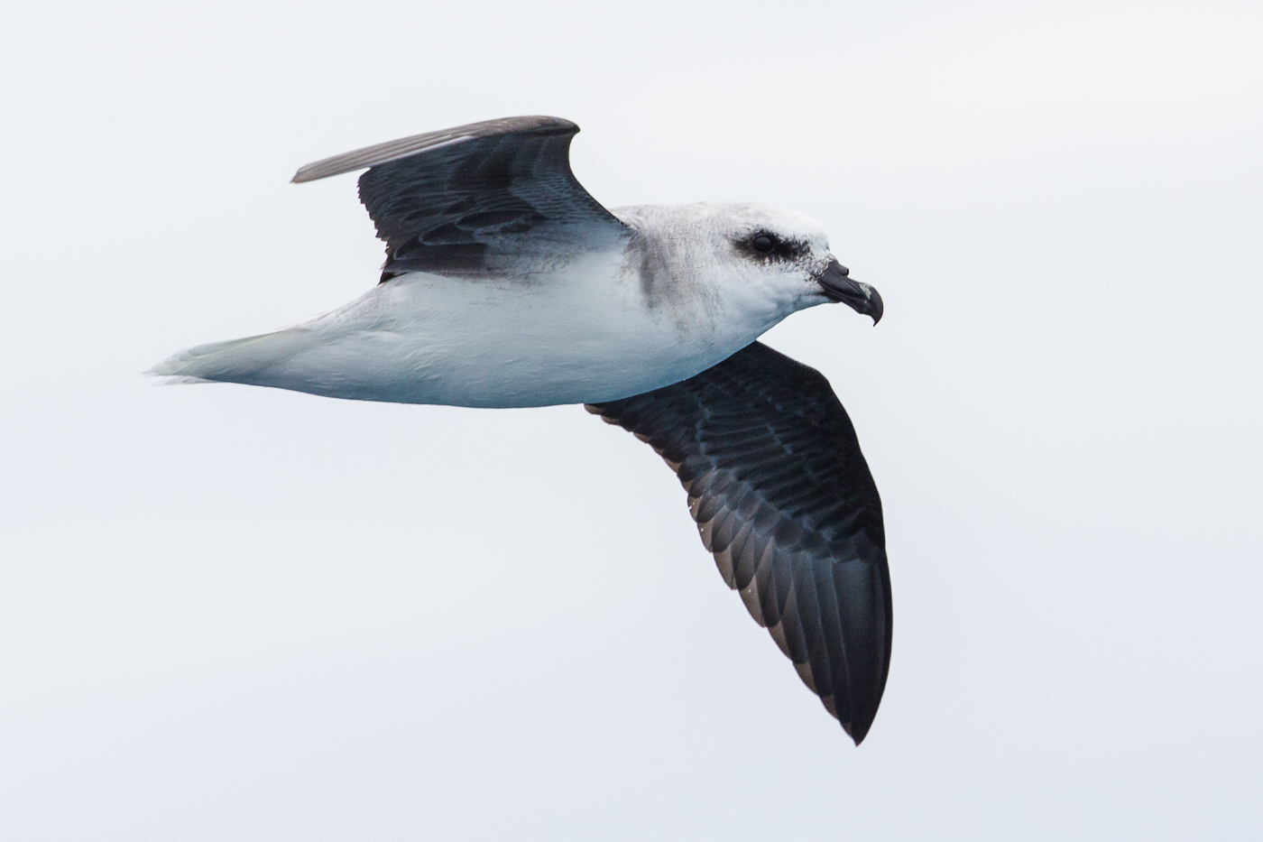 White-headed Petrel (Image ID 23506)