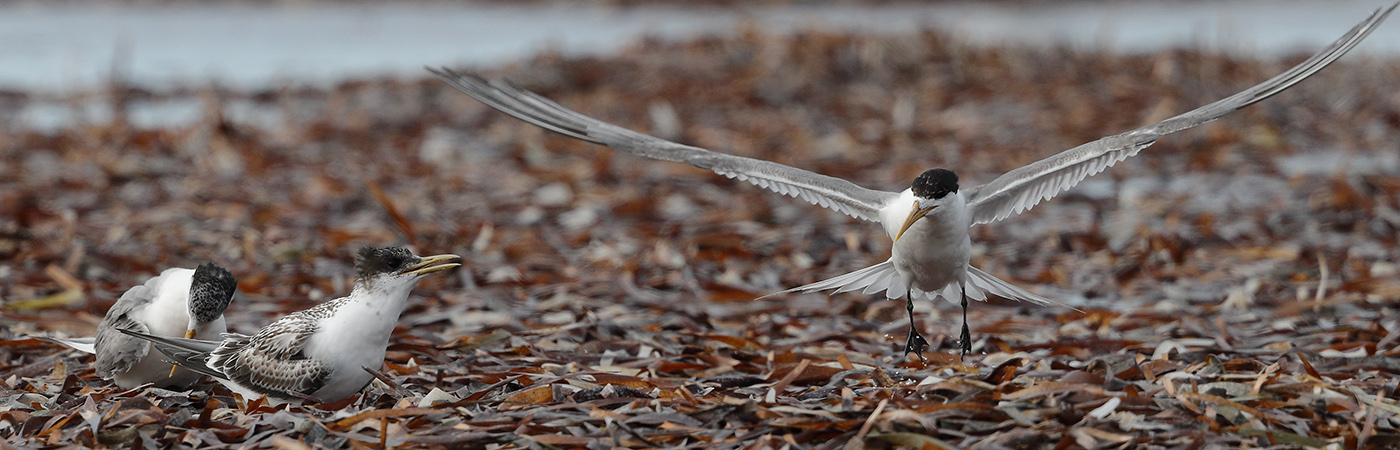 Crested Tern (Image ID 24179)