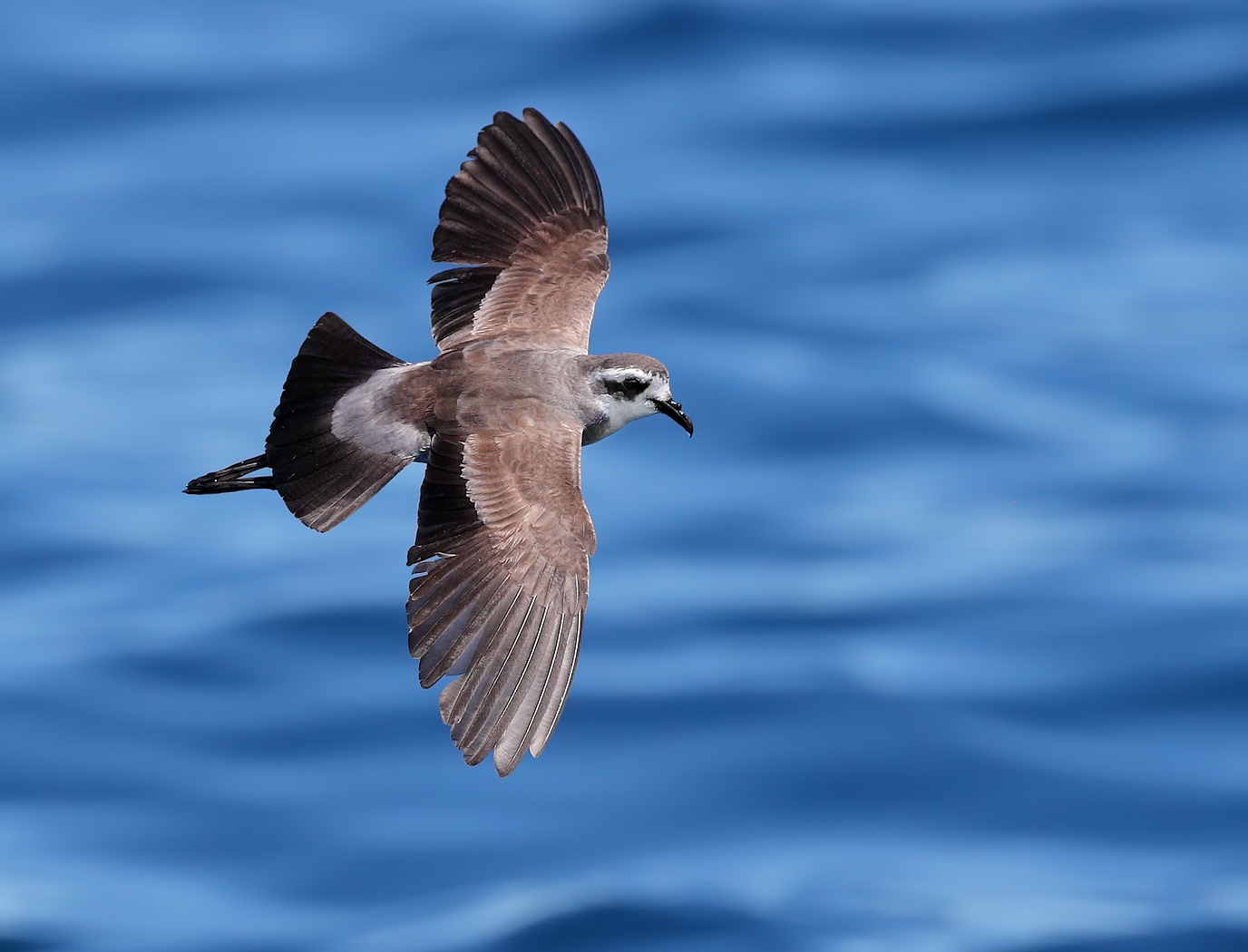 White-faced Storm-Petrel (Image ID 24432)