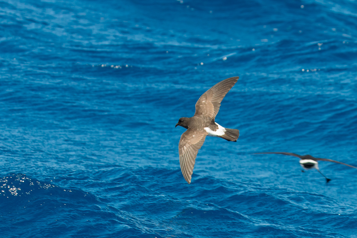 White-bellied Storm-Petrel (Image ID 24472)