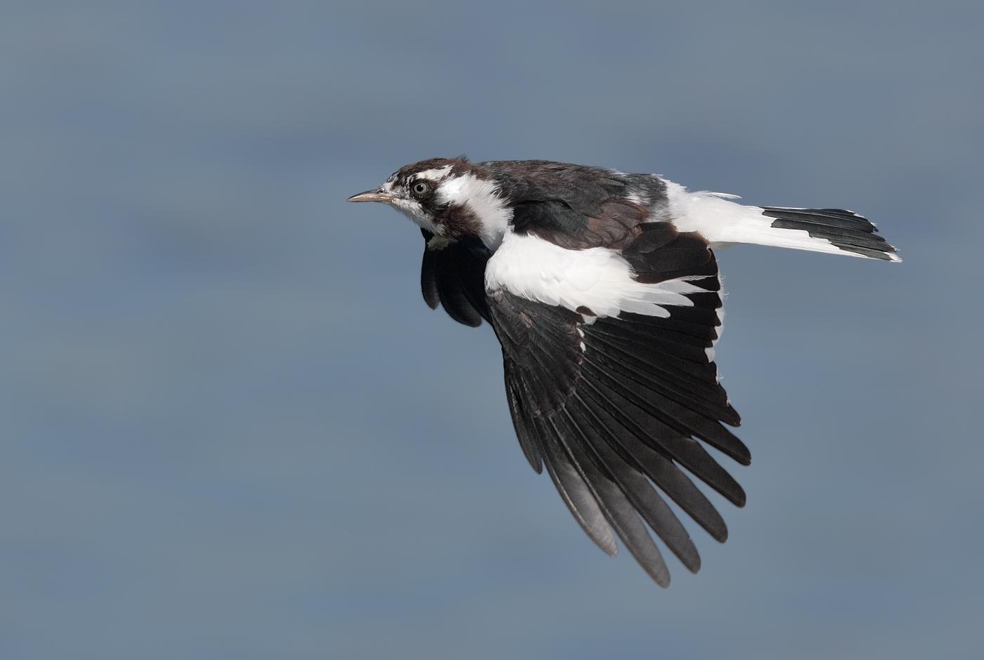 Magpie-lark (Image ID 25286)