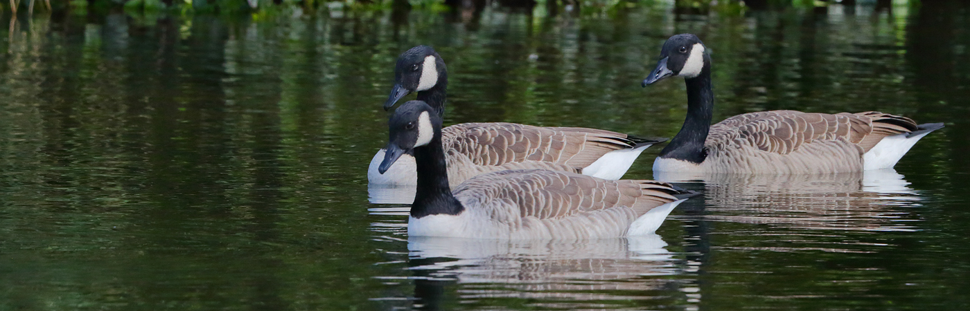 Canada Goose (Image ID 25265)