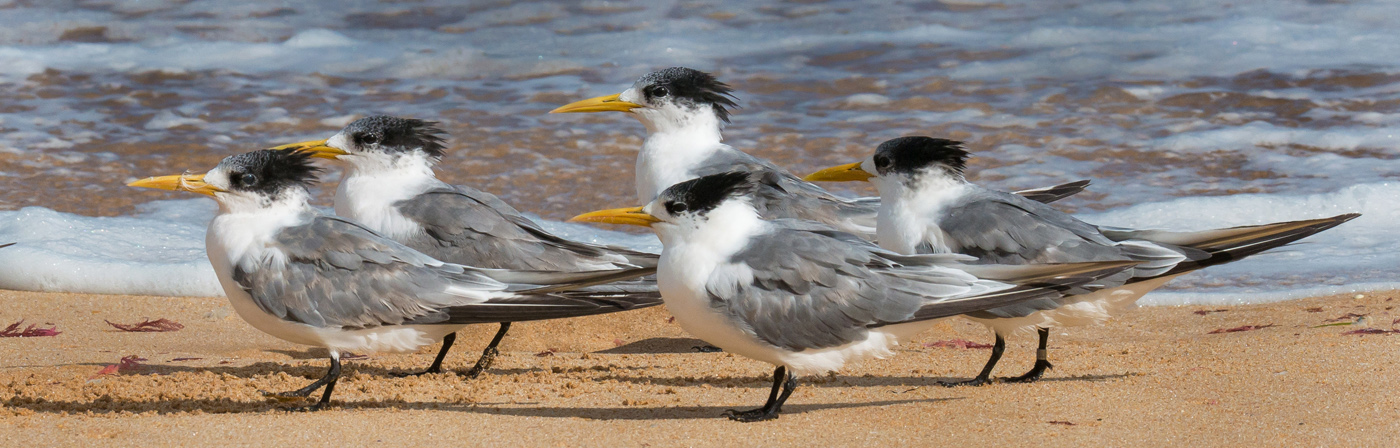 Greater Crested Tern (Image ID 25323)