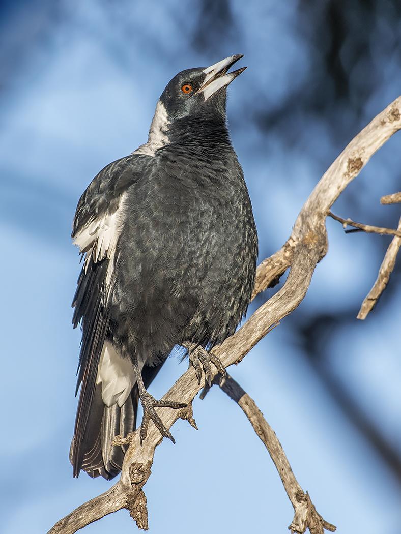 Australian Magpie (Image ID 25753)