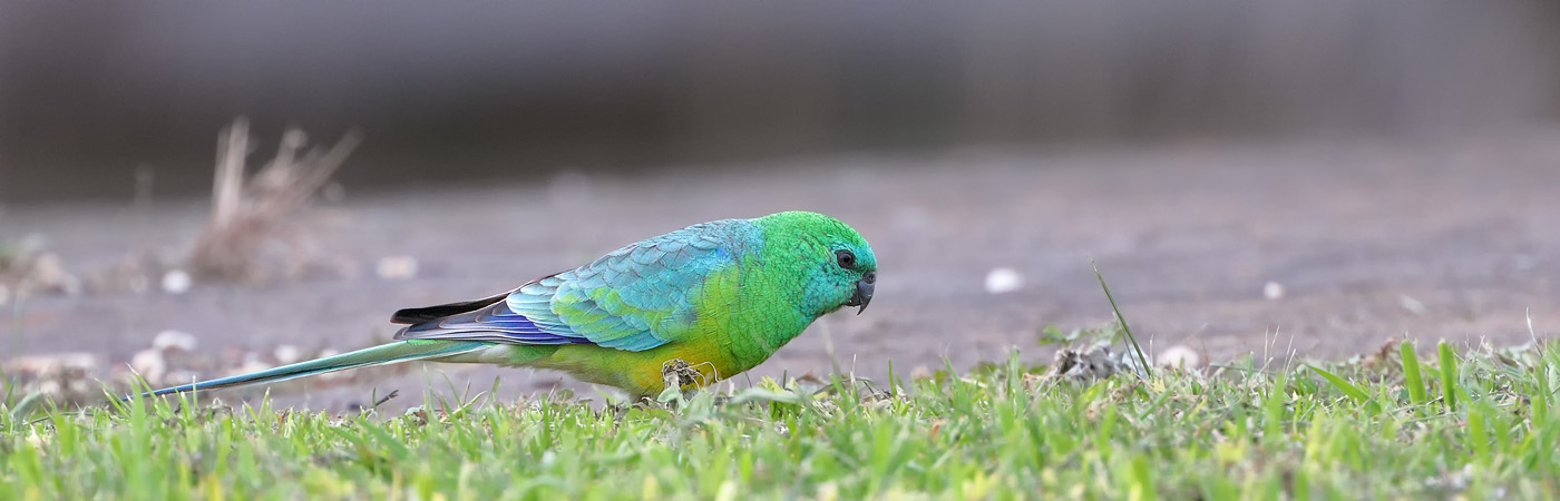 Red-rumped Parrot (Image ID 26320)