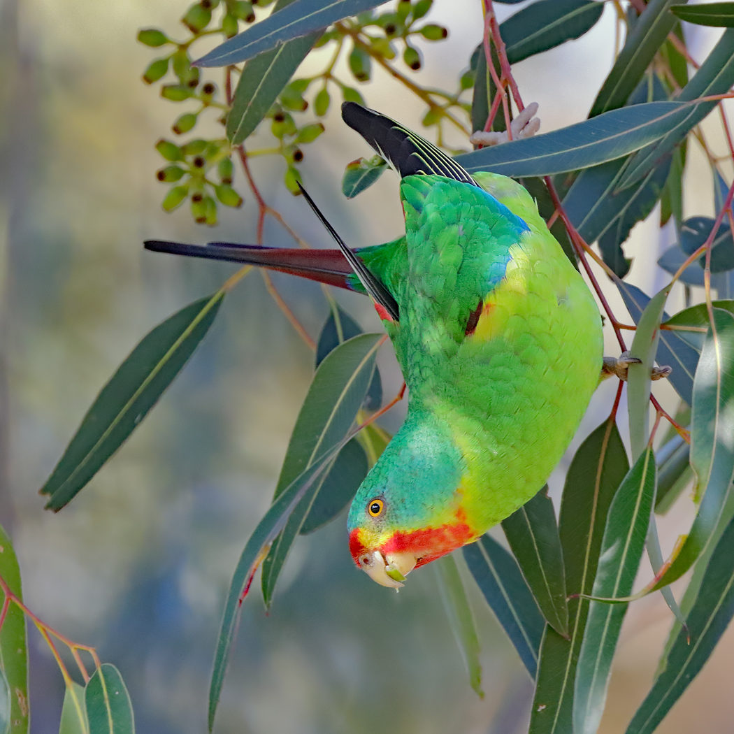 Swift Parrot (Image ID 26293)