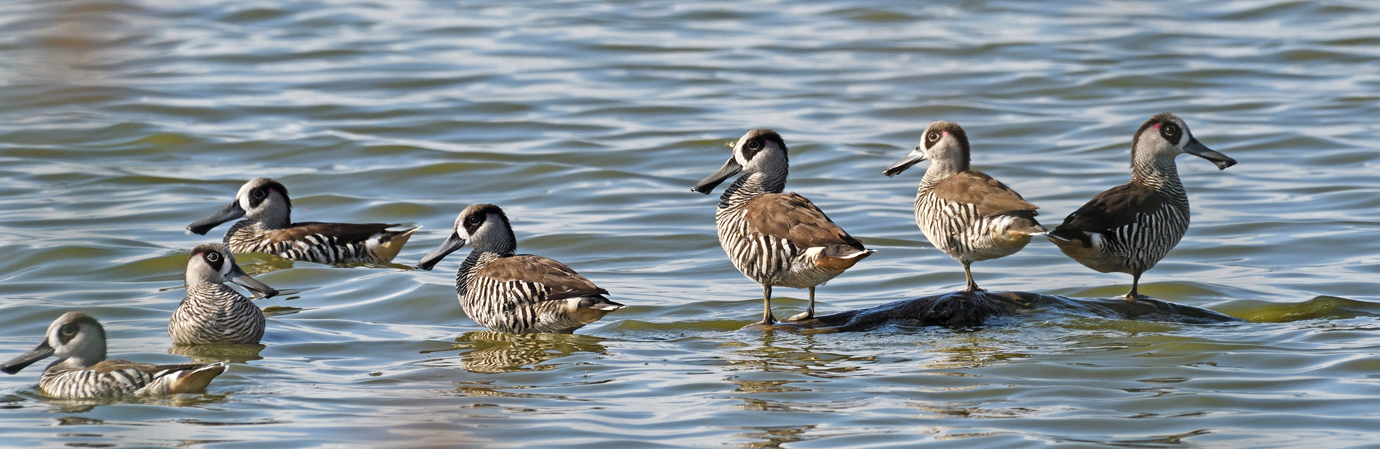 Pink-eared Duck (Image ID 26033)