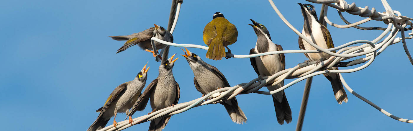 Blue-faced Honeyeater, Noisy Miner