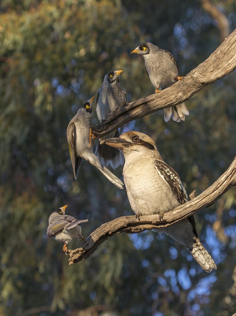 Laughing Kookaburra, Noisy Miner