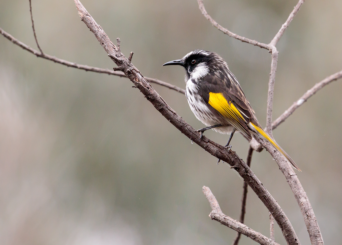Hybrid, New Holland Honeyeater, White-cheeked Honeyeater