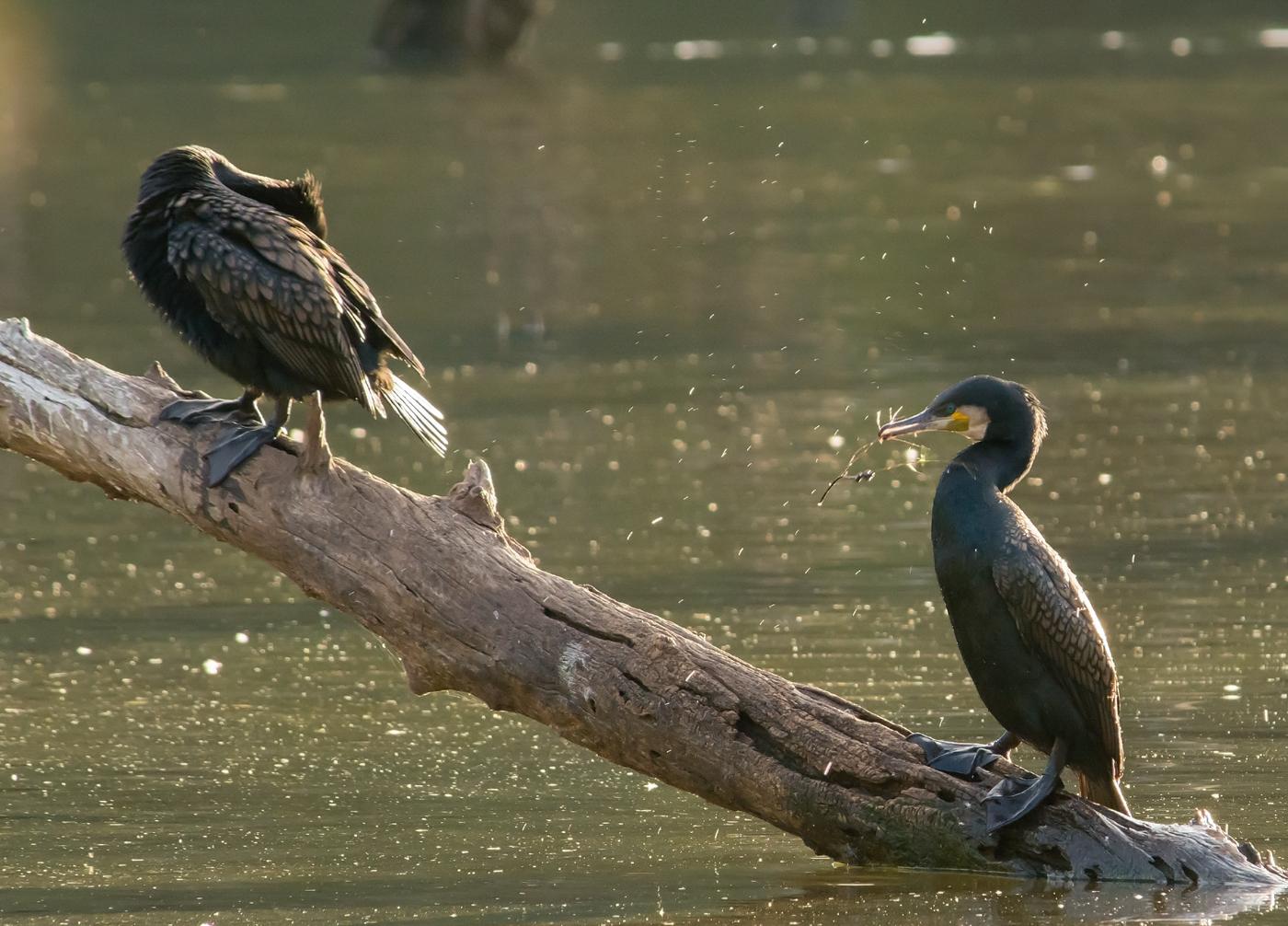 Great Cormorant (Image ID 26694)