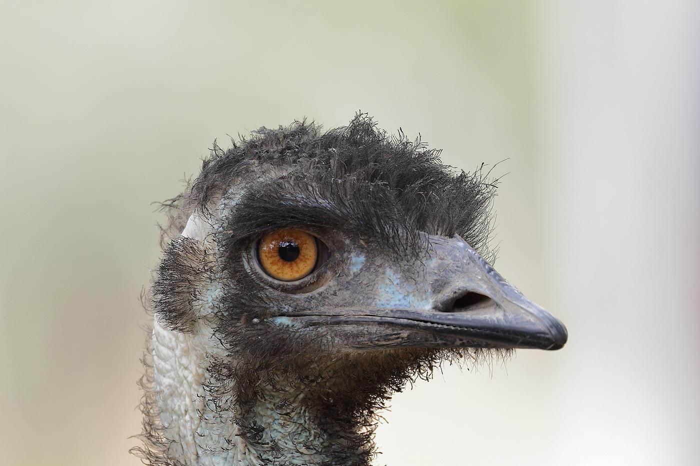 Emu (Image ID 26586)