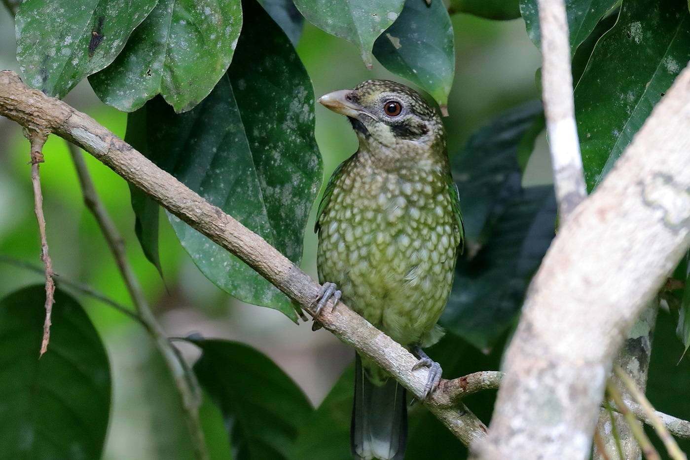 Spotted Catbird