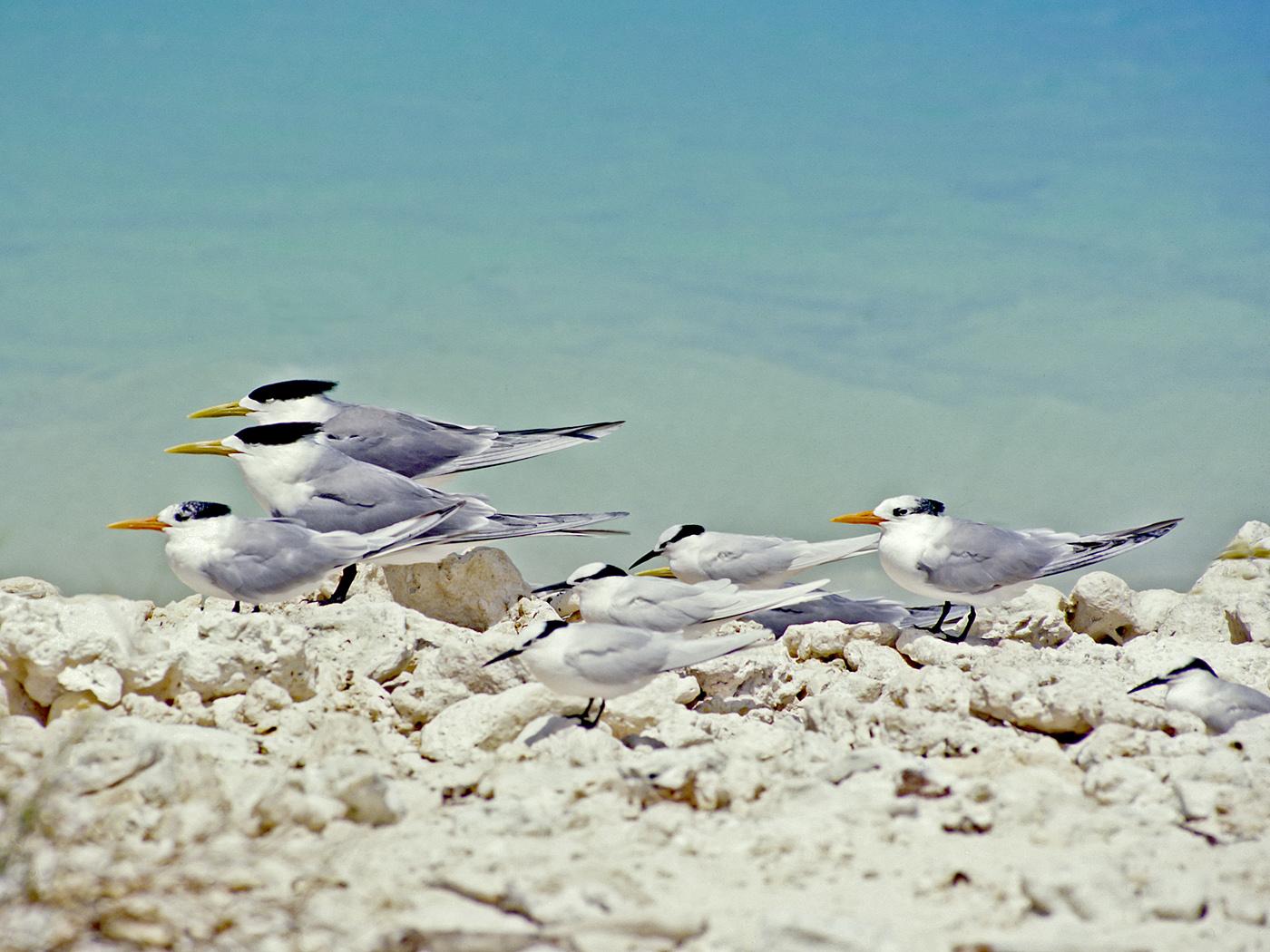 Black-naped Tern, Crested Tern, Lesser Crested Tern