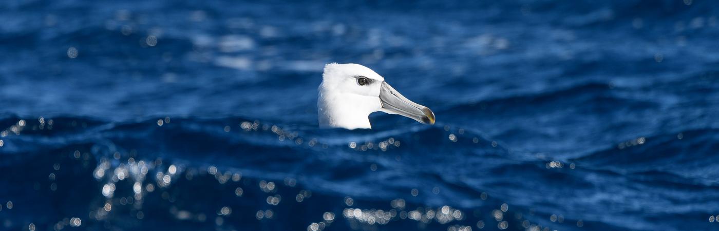 Shy Albatross (Image ID 26671)
