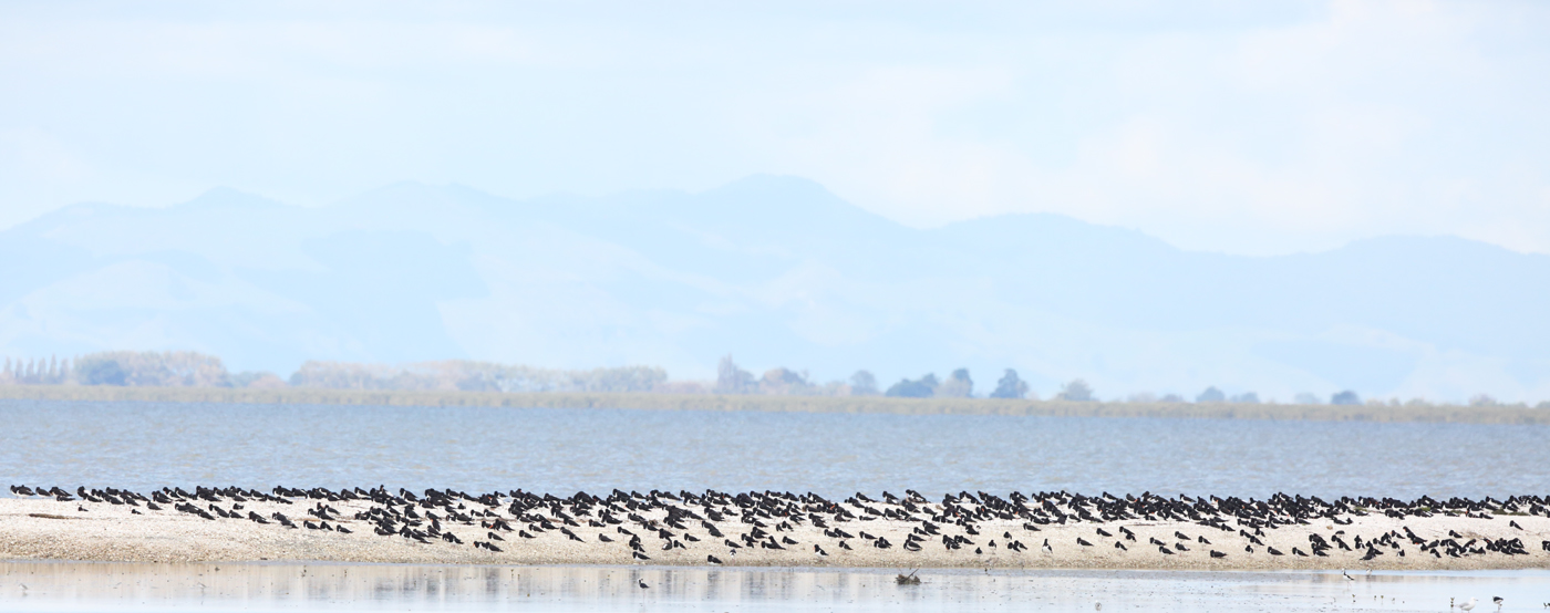 South Island Pied Oystercatcher (Image ID 26499)