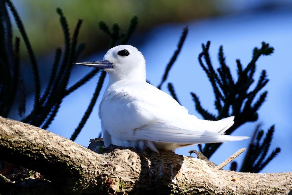White Tern (Image ID 26781)