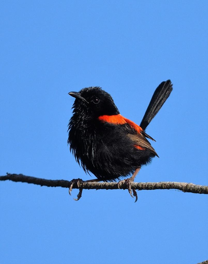 Red-backed Fairy-wren