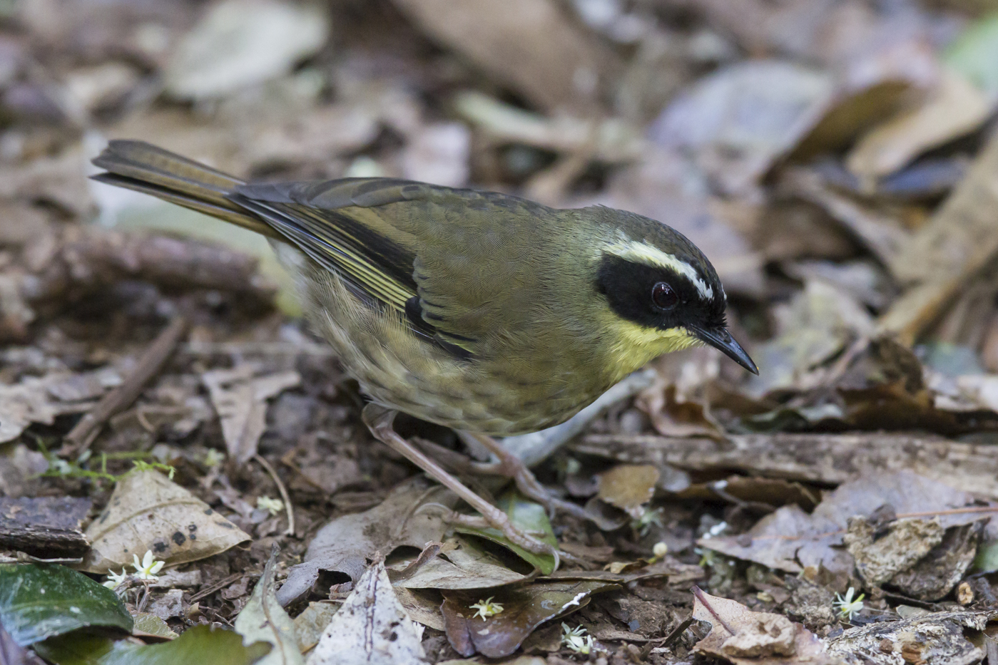Yellow-throated Scrubwren