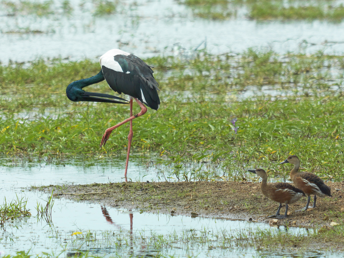 Black-necked Stork, Wandering Whistling-Duck