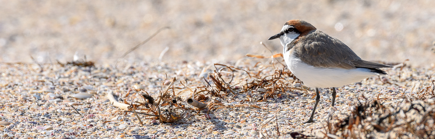 Red-capped Plover (Image ID 27023)