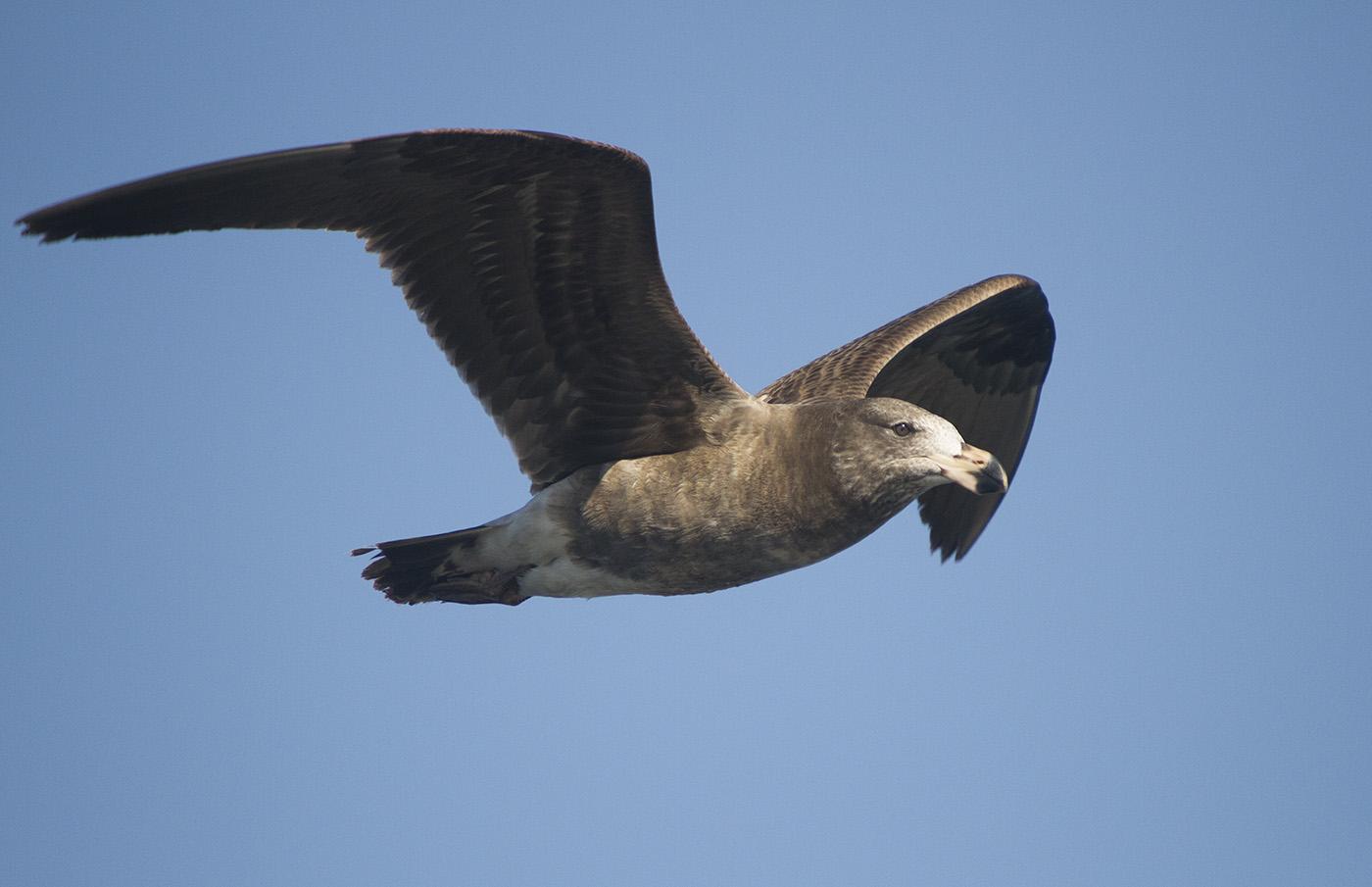 Pacific Gull