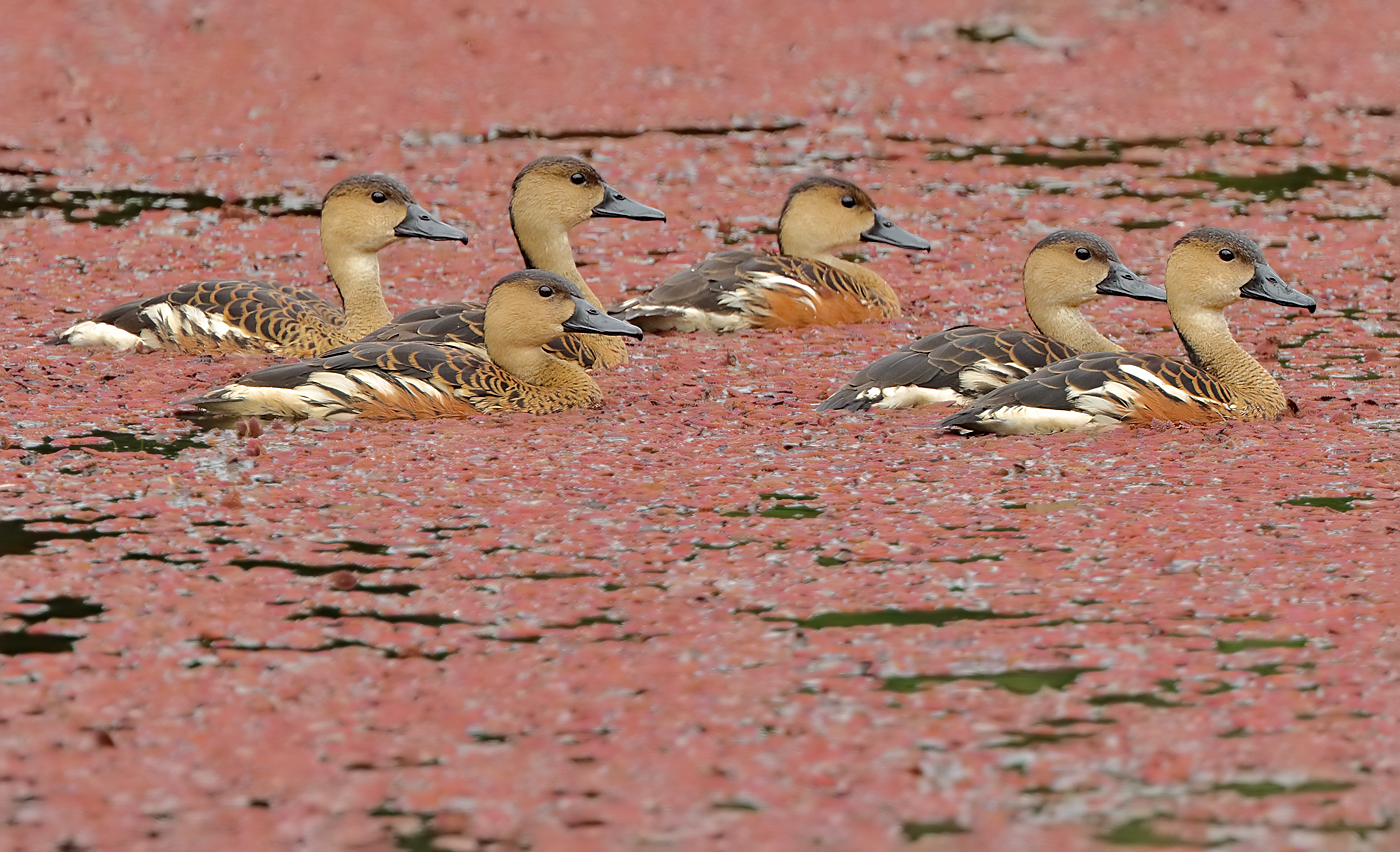 Wandering Whistling-Duck (Image ID 27124)
