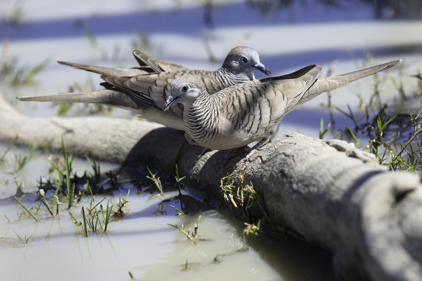 Peaceful Dove (Image ID 27561)