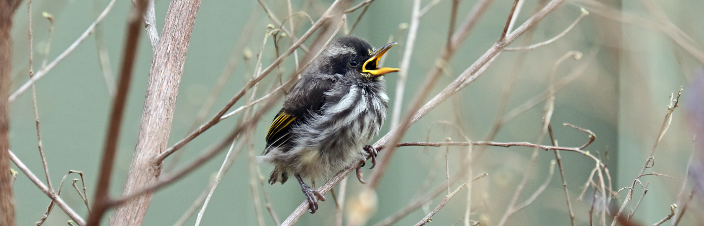 New Holland Honeyeater (Image ID 27325)