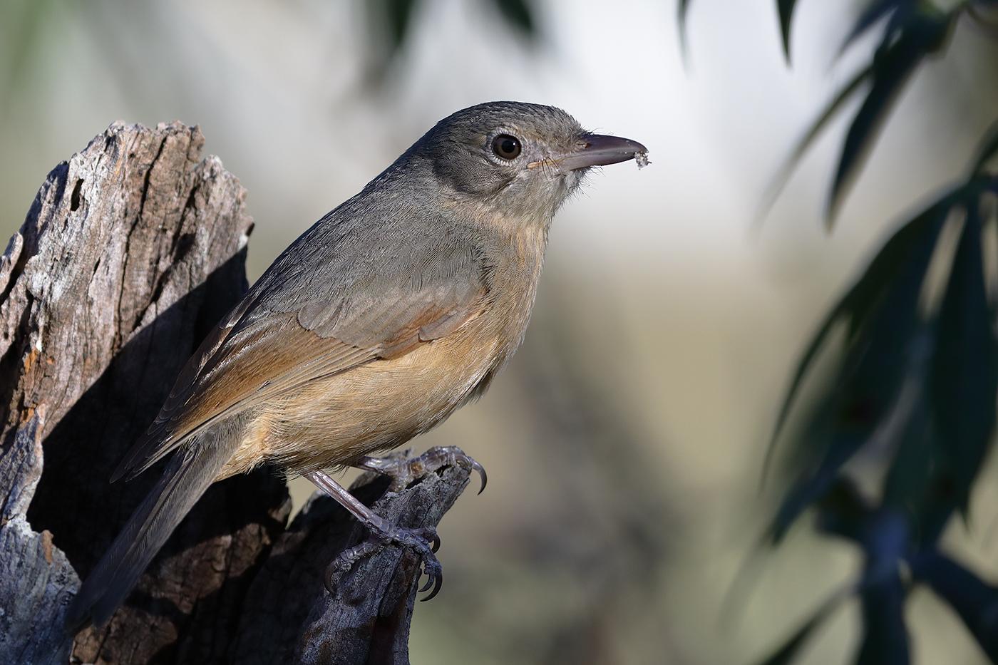 Little Shrike-thrush
