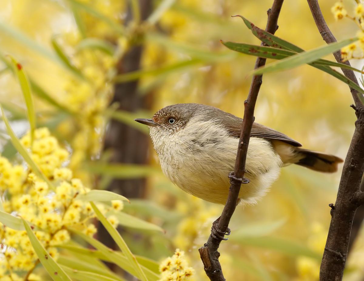 Buff-rumped Thornbill (Image ID 27371)