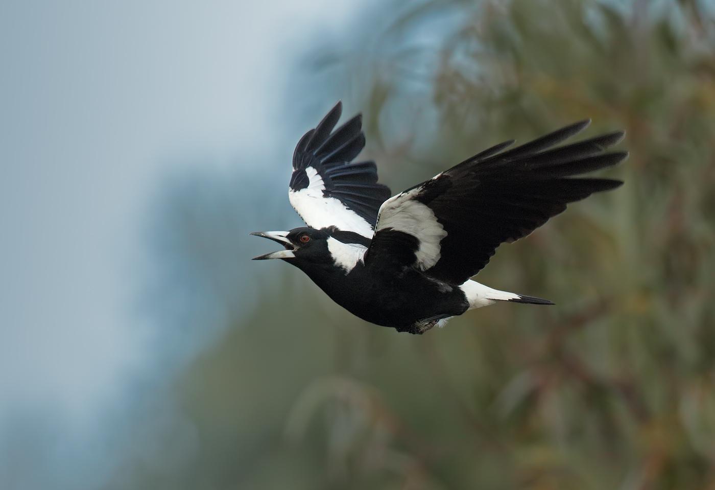 Australian Magpie (Image ID 27529)