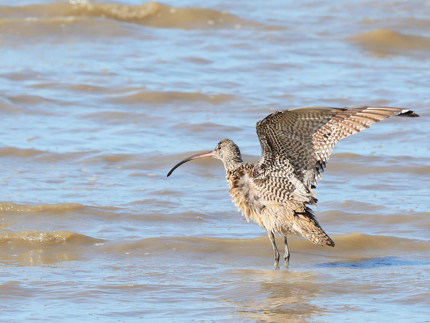 Eastern Curlew (Image ID 27257)