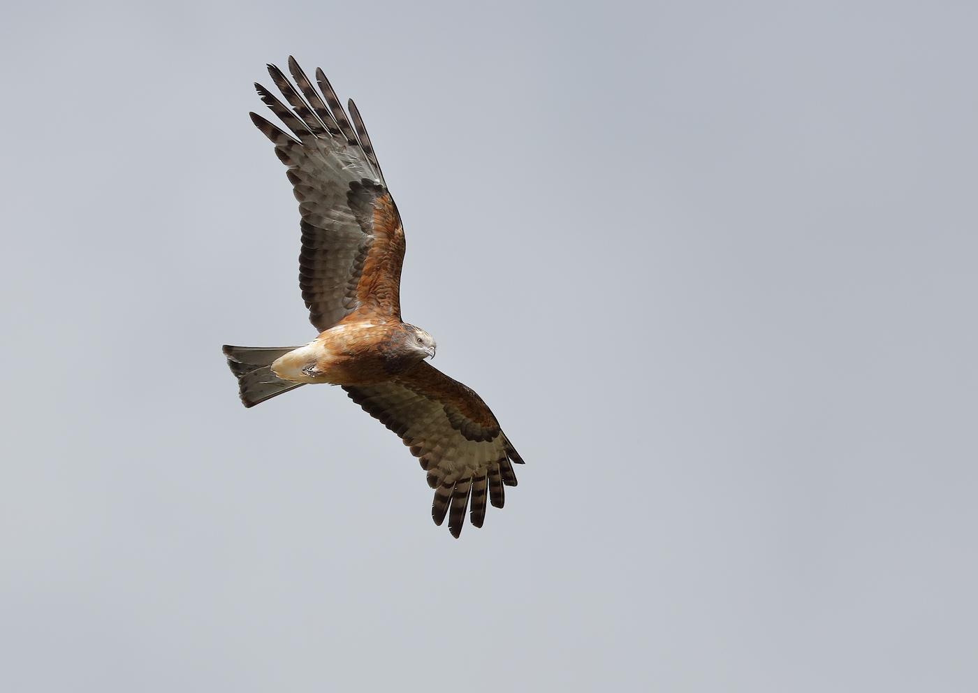 Square-tailed Kite